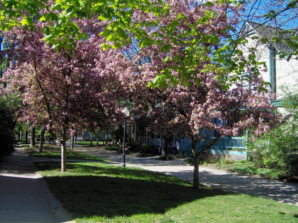 Trees bloom in the green space along Milwaukee Avenue
